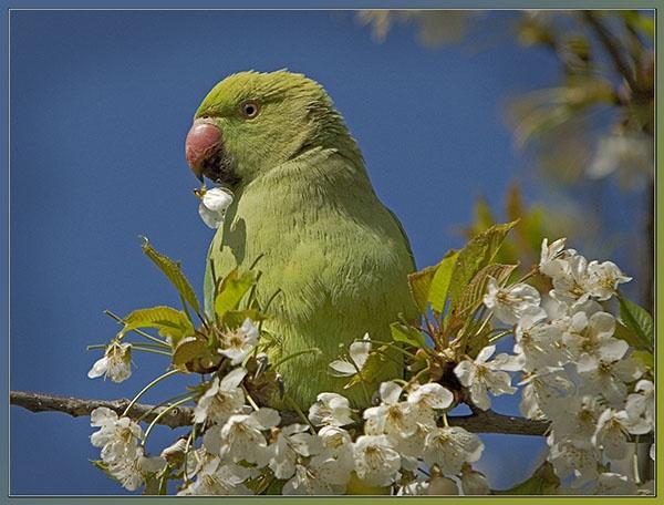 Ring Necked Parakeet. by fishing