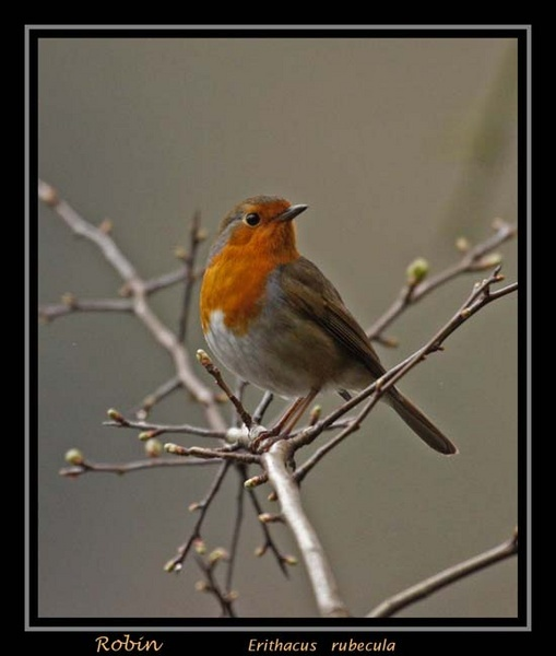 Just a Robin by OAKEY