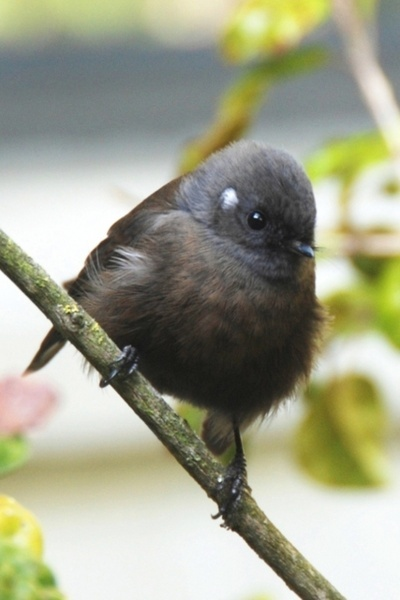 Black Fantail by mightymaits