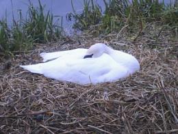 Sleepy swan gaurding its nest
