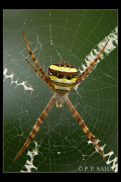 Signature Spider by pp_saha
