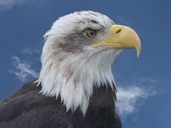 Bald Eagle by AllanP