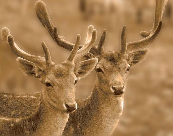 Dear Deer by AllanP