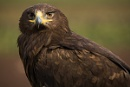 Steppe Eagle by dark_lord