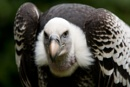 Ruppell's Vulture by dark_lord