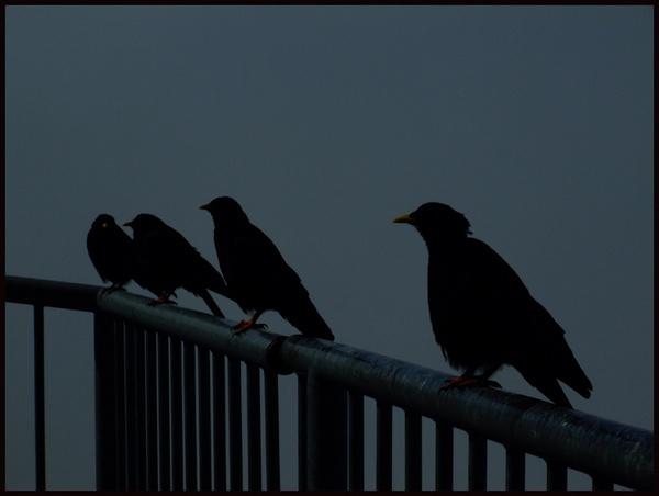 blackbirds by iainpb