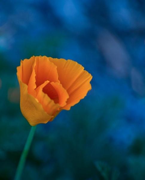California Poppy by BillTheBaer
