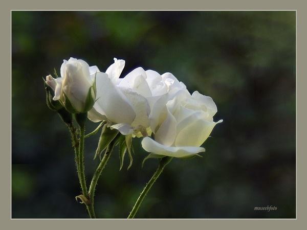 White Rose by museebfoto