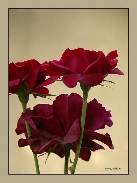 Red Rose by museebfoto