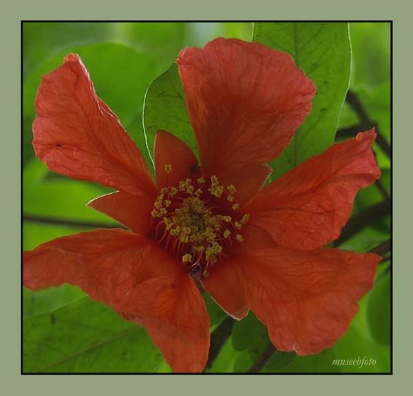 Pomegranate by museebfoto