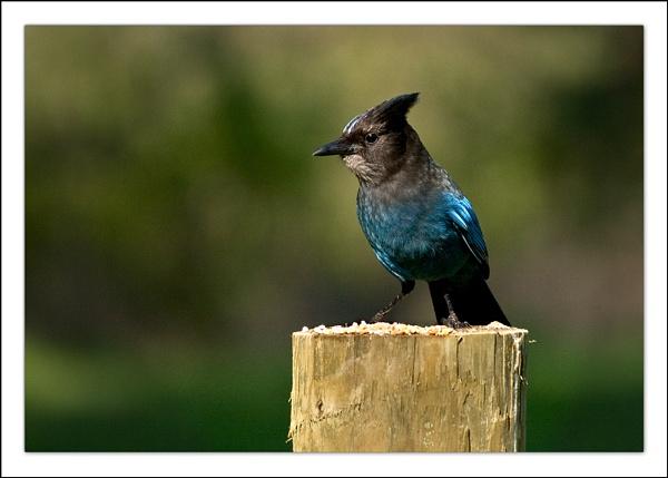 Blue Jay by LisaRose