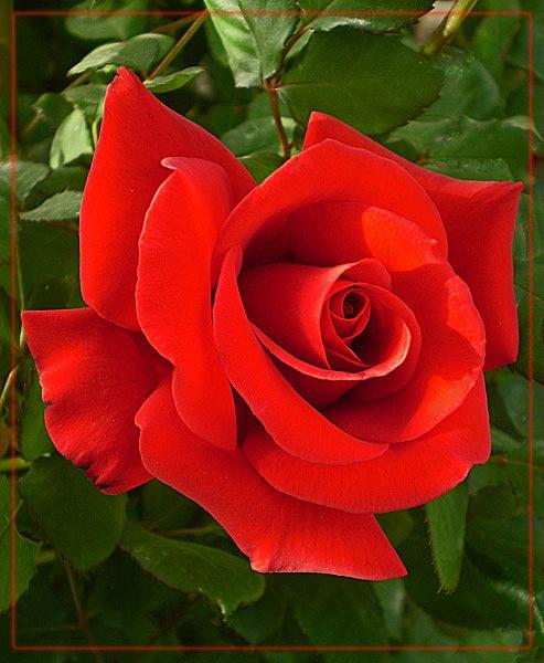 love is like................ by CarolG