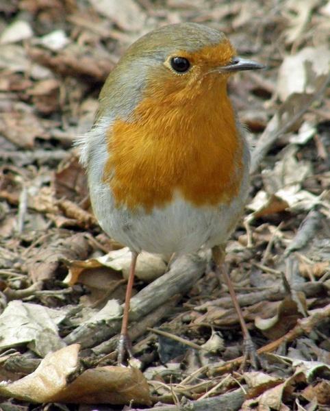 Helmsley Robin by lornem