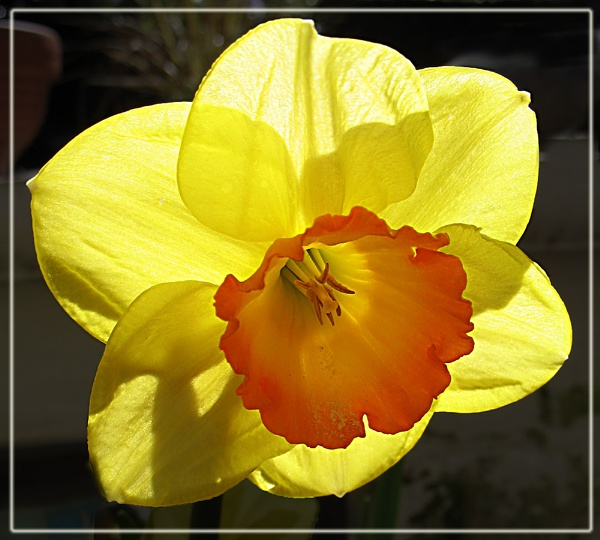 Daffodils by Sylviwhalley