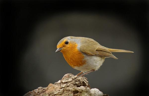 Robin by JWA