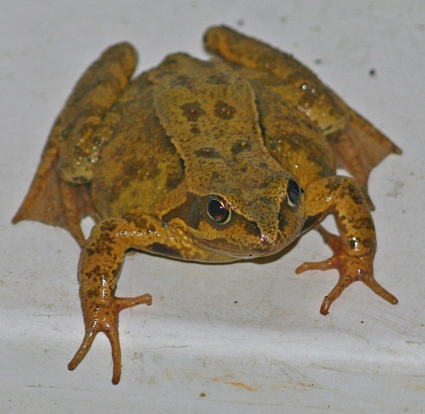 Frog by bolebrown