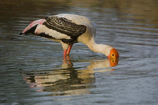 painted stork by wildlens