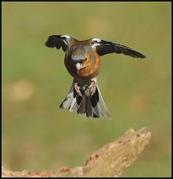 Landing Male Chaffinch