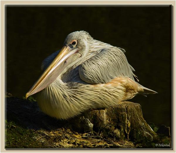 Pelican 2 by FeatherFriend