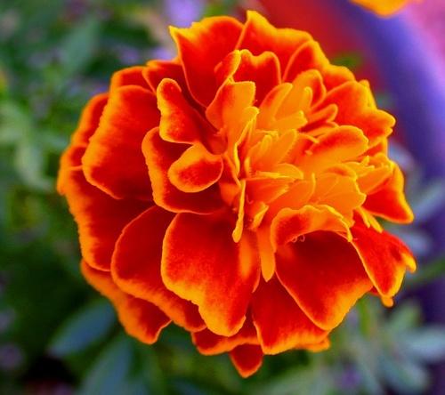 Marigold Bright Orange by btflfotogrfr