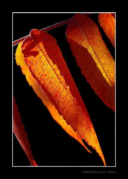 Autumn Sumac by Darrell