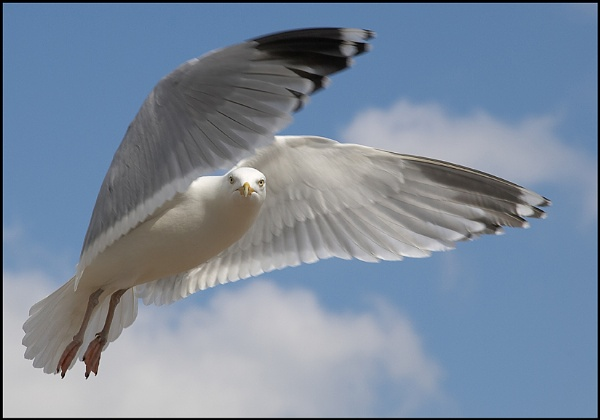 Gull by cameraman