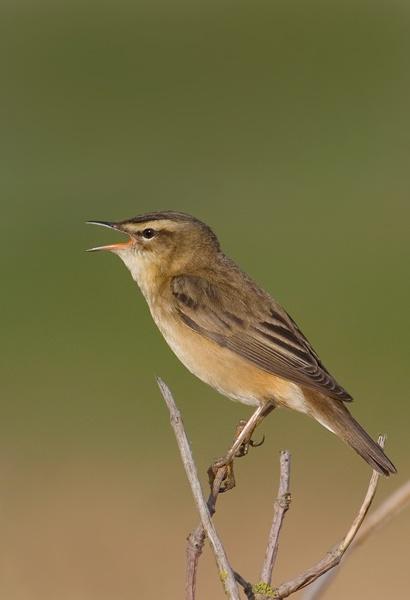 Singing Sedge Warbler by nigelpye