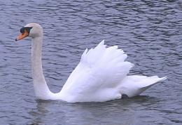 Daddy swan