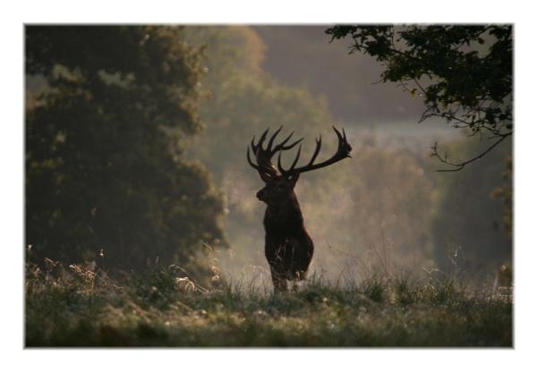 red deer by ayliffe