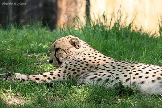 Cheetah by Papa6