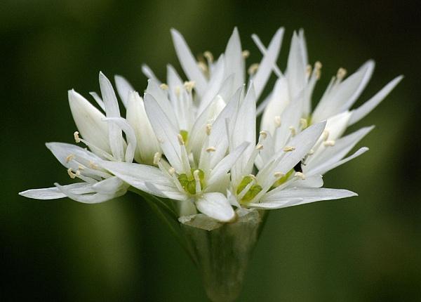 Wild Garlic - Ransoms by petet410