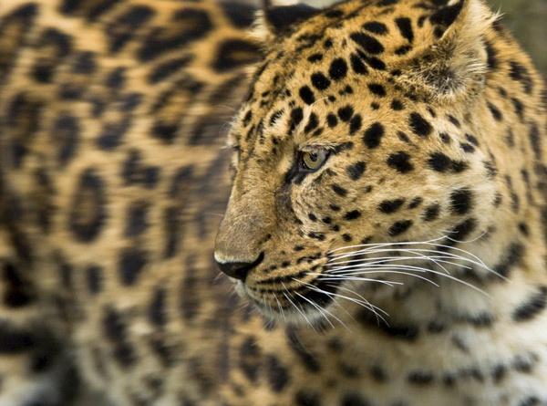 Leopard2 by nikguyatt