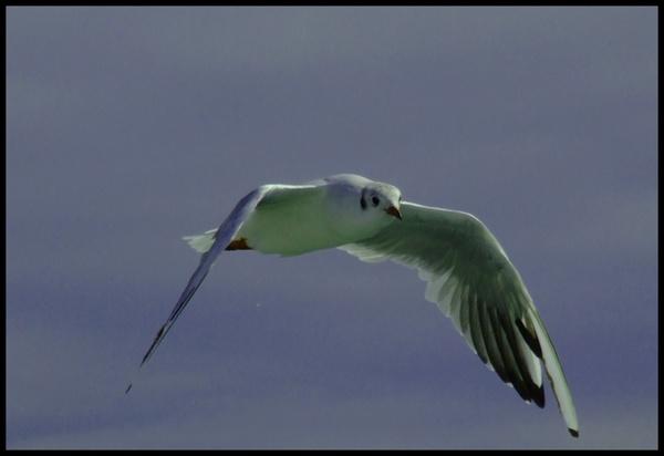 Gull in flight by iainpb