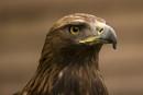 Golden Eagle by john64