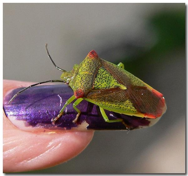 Birch shield bug by bunbeam