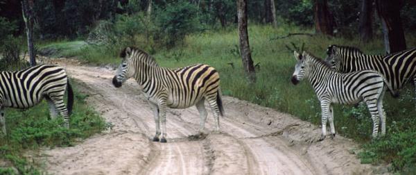 Zebra Crossing by jinstone