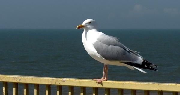 Gull On A Rail by chensuriashi