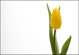 A Simple Tulip