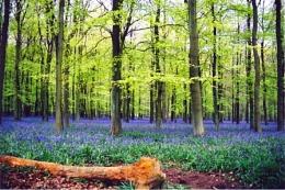 BLue Bells Wood II