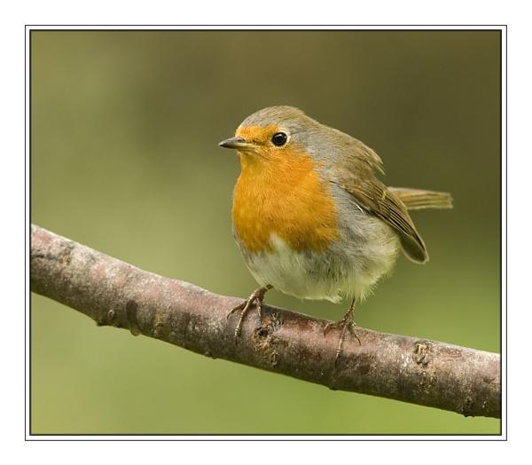 Not a Red Billed Firefinch by SueWB