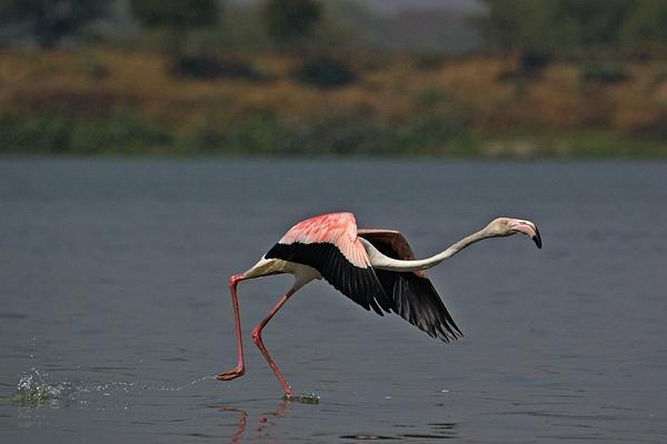 flamingo takeoff by wildlens