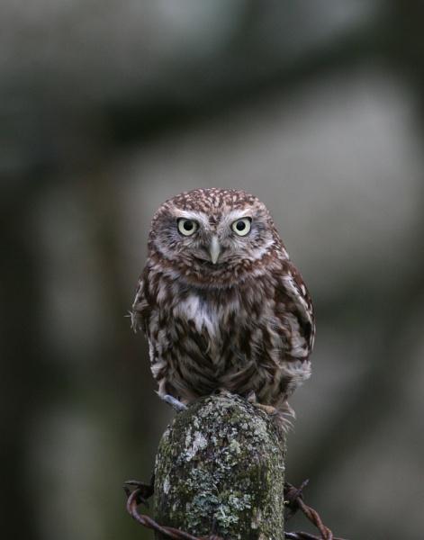 Little Owl by EDWARDPARRISH