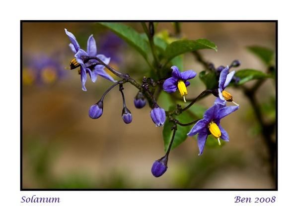 Solanum by Scutter
