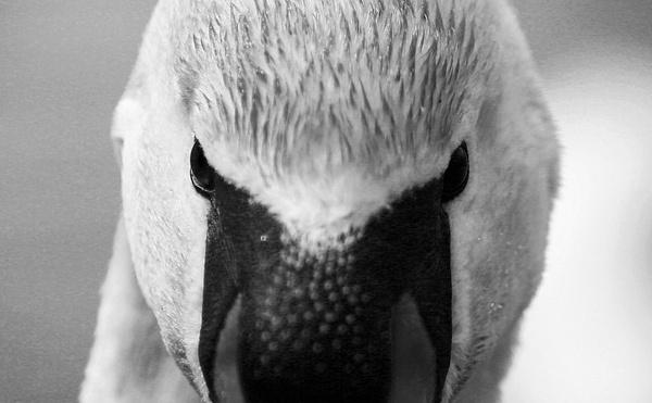Junkyard Swan by depthimages