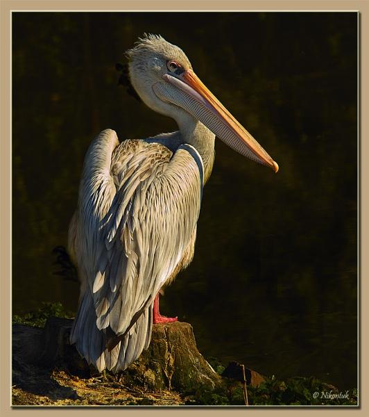 Pelican 3 by FeatherFriend