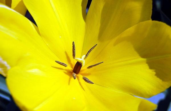 yellow tulip by CherryMartin