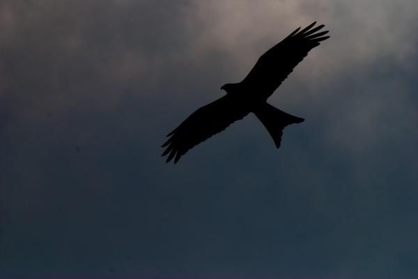 Red Kite Sillouhette by anpix