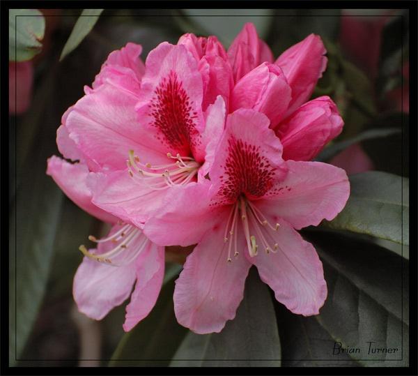 pink flower by ducatifogarty
