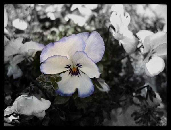 Viola by nobby2082