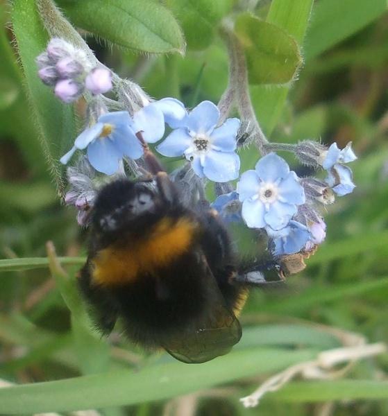 Bumblebee by emmaA